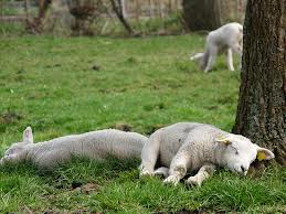 more sleeping sheep