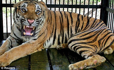 tigercage2